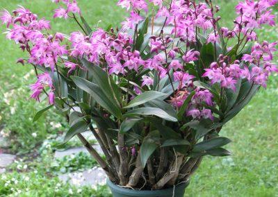 <em>Dendrobium kingianum</em>