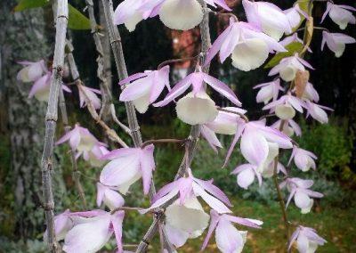 <em>Dendrobium aphyllum</em>