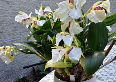 <em>Dendrobium</em> Pam Tajima