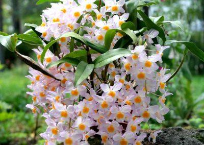 <em>Dendrobium farmeri </em>Pink