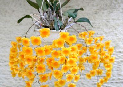 <em>Dendrobium lindley</em>