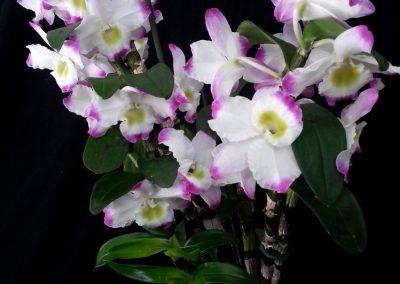 <em>Dendrobium nobile</em> rist.