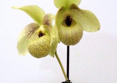 <em>Paphiopedilum malipoense x emersonii </em>(Mem. Larry Heuer)