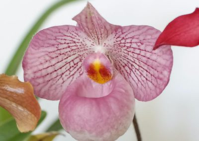 <em>Paphiopedilum</em> Magic Lantern