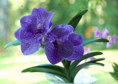 <em>Vanda</em> Pakchong Blue